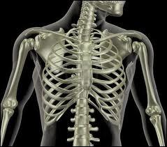 Les côtes sont classées dans quelle catégorie d'os ?