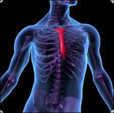 A quel os viennent se rattacher les 10 premières paires de côtes à la partie antérieure du thorax ?