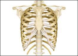 Comment s'appellent les 2 dernières paires de côtes qui ne sont rattachées qu'à la colonne vertébrale ?