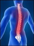 Quel est le nom de la partie de la colonne vertébrale où se rattachent les côtes ?