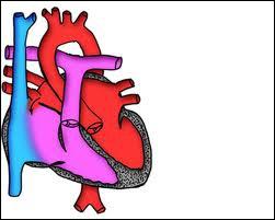 Dans la cavité thoracique se situe l'une des plus grosses veines du corps humain. C'est également la seule veine transportant du sang oxygéné . Quel est son nom ?