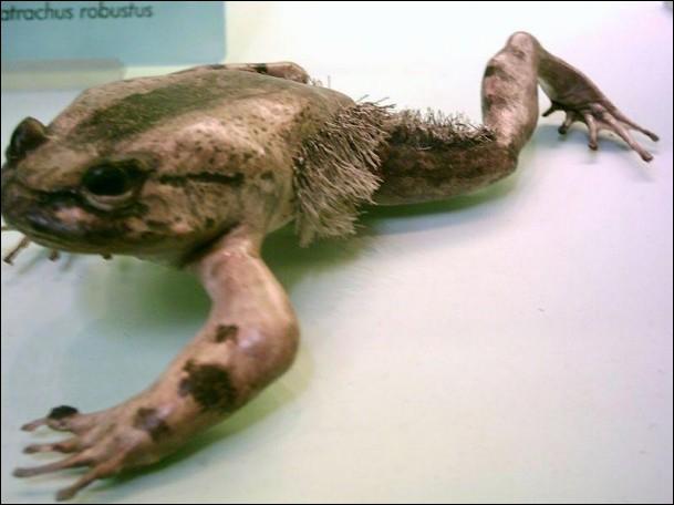Il y a eu la femme à barbe, je vous présente la grenouille poilue, mais existe-t-elle vraiment ?
