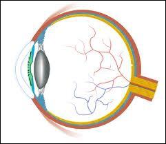 Le point aveugle de l'œil est connu sous le nom de