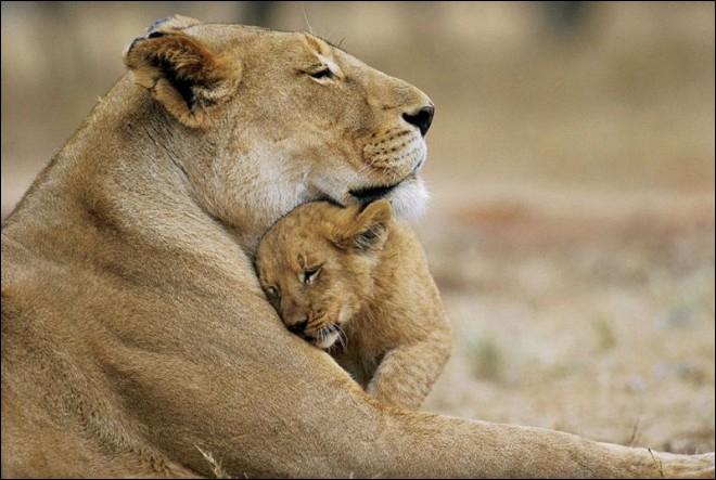 Pour se reproduire, monsieur et madame lion peuvent s'accoupler jusqu'à 50 fois par jour, et ce, pendant environ 4 jours. Après combien de temps de gestation les petits lionceaux naissent-ils ?