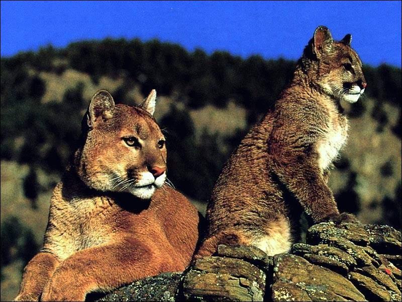 Quel félin du continent américain est parfois appelé 'lion des montagnes' ?