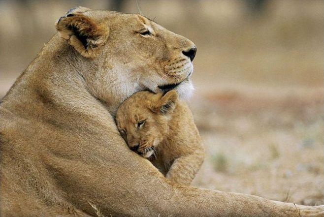 Autour du lion