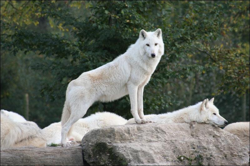 Quizz le loup dans tous ses tats quiz culture g n rale - Les bronzes bonsoir nous allons nous coucher ...