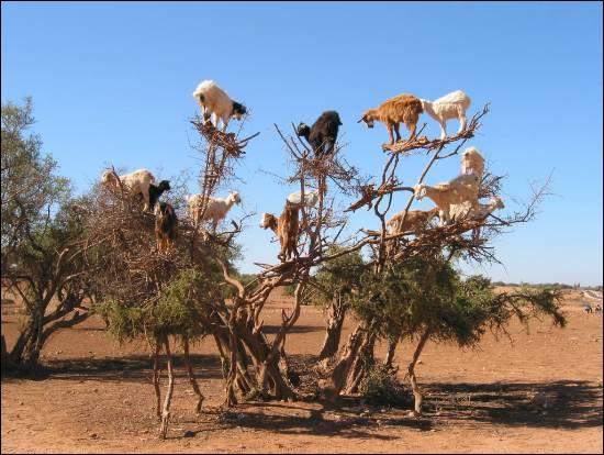 Combien y a-t-il de chèvres sur l'arbre ?
