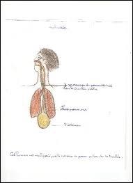 Quels sont les organes formés suite à la division de la trachée ?