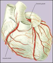Les artères coronaires partent de l'aorte