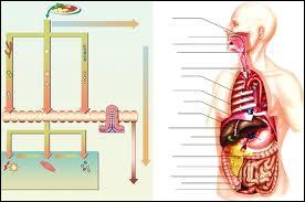 Les composants des aliments absorbés et assimilés sont distribués aux différentes parties du corps par la lymphe.