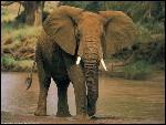Comment se nomme un éléphant femelle ?