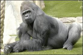 Comment s'appelle la femelle du gorille ?