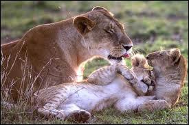 Le nom de la femelle du lion n'est pas difficile. Mais lequel est-ce donc ?