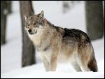 Et quelle est celle du loup ?