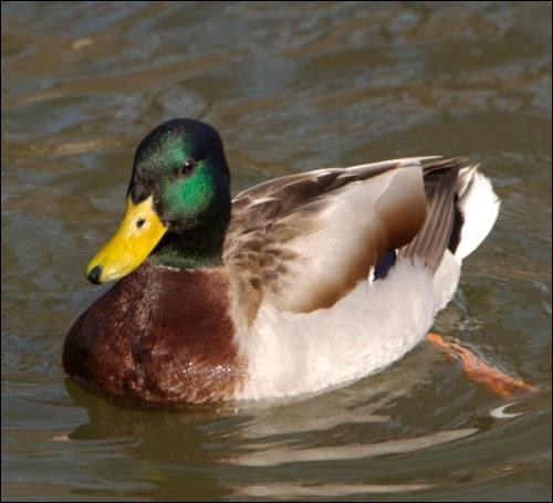 Savez-vous le nom de celle du canard ?
