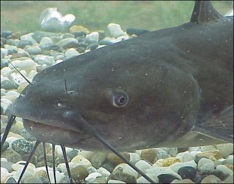 Ce saumon vient frayer sur le gravier !