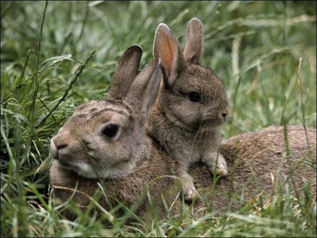 Ces lapins sont des lapins d'élevage !