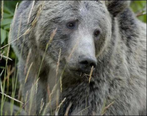 Si vous êtes attaqué par un grizzly, le plus sûr est ...