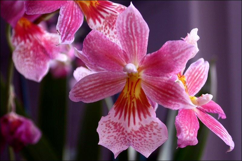 Quel insecte peut prendre l'aspect d'une orchidée ?