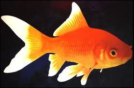 Sous quel autre nom est connu le poisson rouge ?