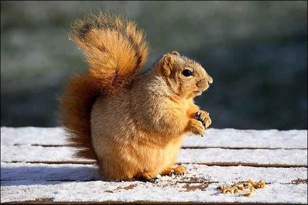 Cet écureuil roux est encore un bébé !