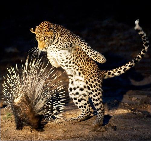 Sur cette photo, on peut voir que le léopard attaque aussi les hérissons !