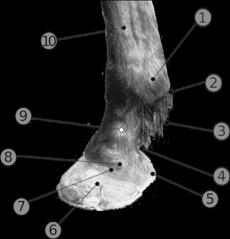 Dans l'anatomie du pied du cheval, que représente le numéro 1 ?