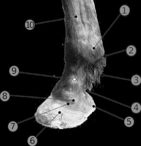Parties du corps du cheval pour le Galop 3