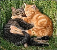 Quels sont ces deux chats au pelage roux qui sont tombés amoureux ?