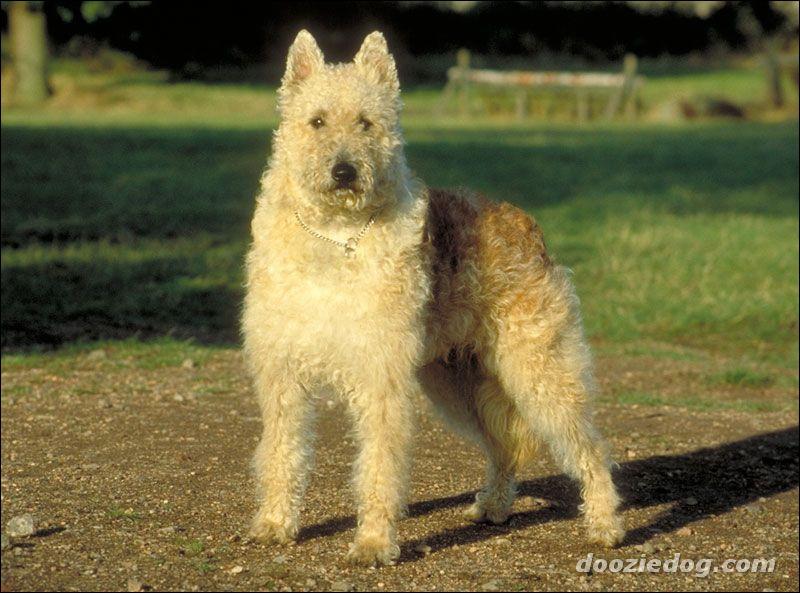 Je fus le chien favori de la reine Henriette de Belgique, je suis le...