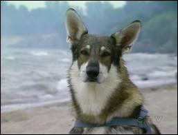 Quelle série canadienne raconte les aventures d'un berger allemand très rusé qui refuse à chaque fois de se laisser adopter ? (1963)