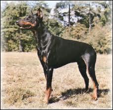 Je suis un chien allemand .