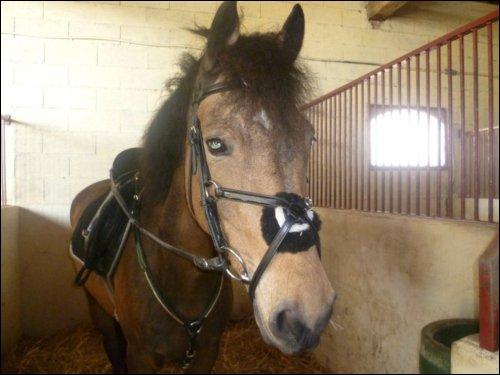 Cette muserolle empêche le cheval de bouger ses maxillaires latéralement. C'est la muserolle :