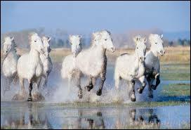 Où pouvez-vous croiser ces chevaux ?