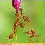 Une fourmi peut se suicider !