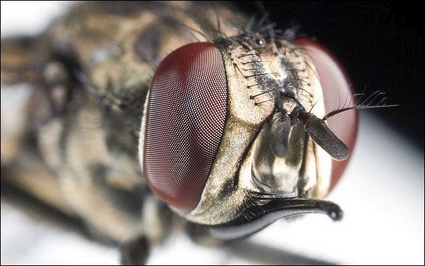 La mouche peut vous transmettre le paludisme !