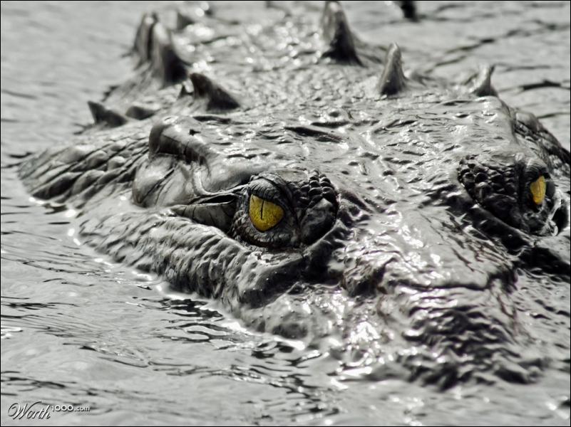 En dépit de la photo, quel terme convient le mieux à maman crocodile !