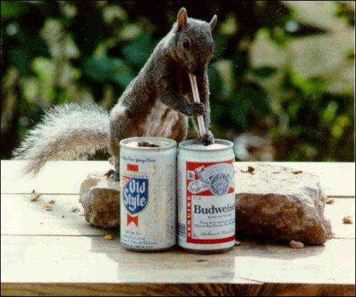 Cet écureuil roux adore la bière !