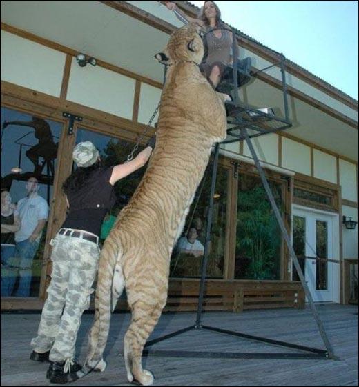 Quand � ce tigre, il a l'air affam� !