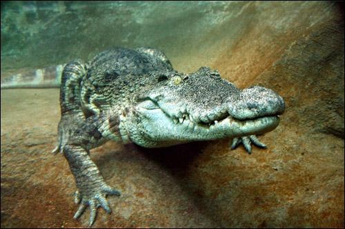 On peut approcher de tr�s pr�s l'alligator, en Amazonie, jusqu'� une dizaine de m�tres !