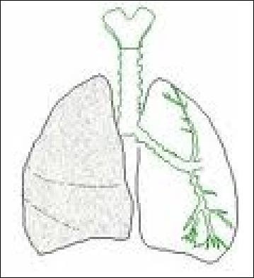 Comment se nomment les petites parties au bout des bronchioles, dans les poumons ?