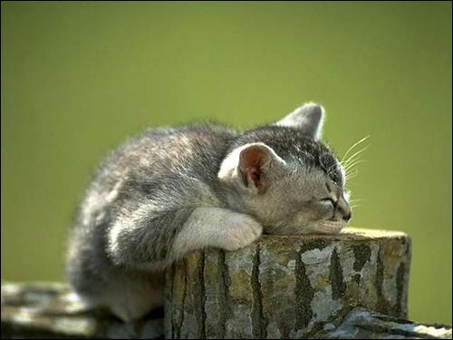 Quizz les chats quiz chats - Combien de temps un chat peut disparaitre ...