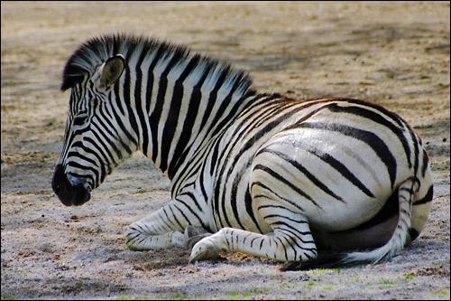 Quels sont les prédateurs du zèbre ?