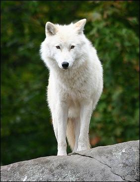 Qui peut être assimilé au loup représenté sur cette photo ?