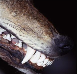 Combien de dents un loup adulte possède-t-il ?