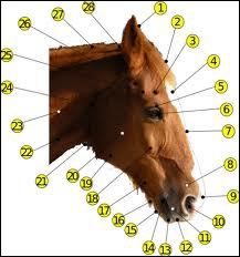 Une des parties de la tête du cheval n'existe pas. Laquelle ?