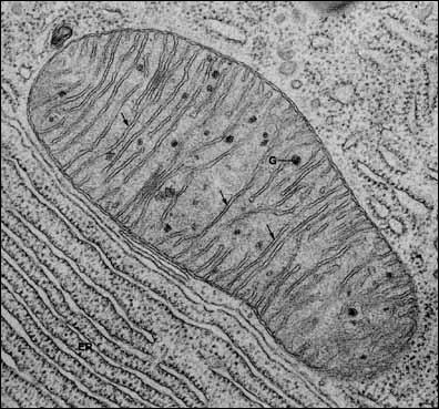 Et enfin, de combien de membranes est constituée la mitochondrie ?