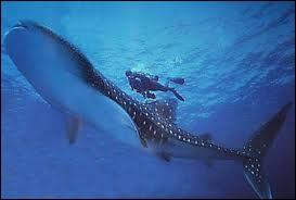 Le plus gros poisson du monde est :