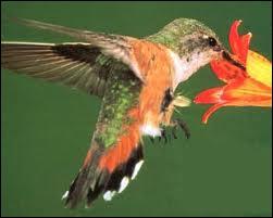 Quel est l'oiseau le plus petit du monde ?